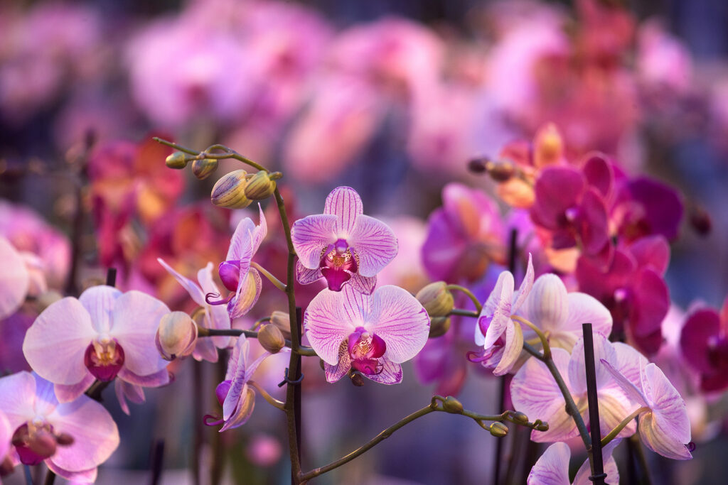 Why moth orchids make perfect housemates?