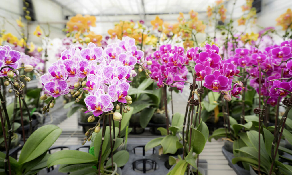 Floricultura Launches the Phalaenopsis AromorA Series