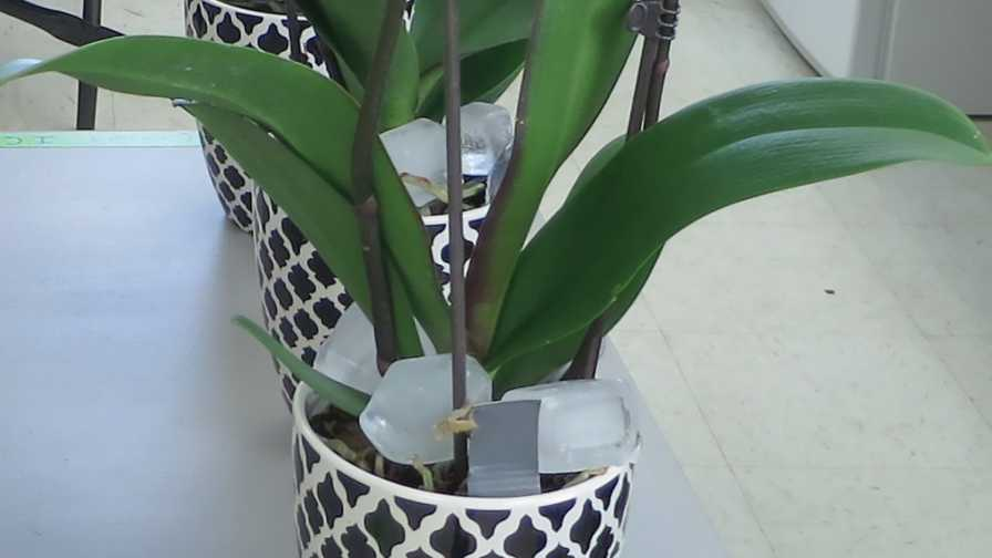 Water Phalaenopsis Orchids With Ice Cubes: Myth or Fact?